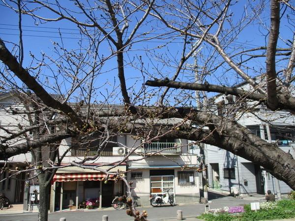 ③毎年のベストポジションの桜の木はこんな感じです.jpg